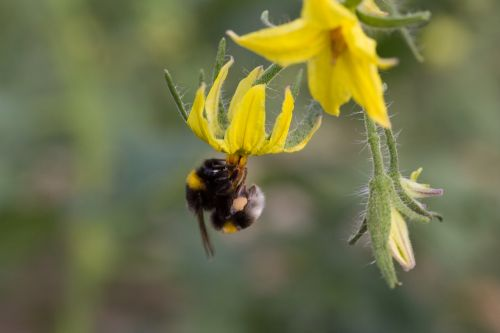bumblebee pollinating flower