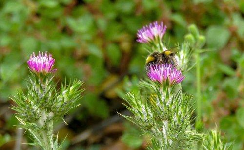 bumblebee  borinot  nature