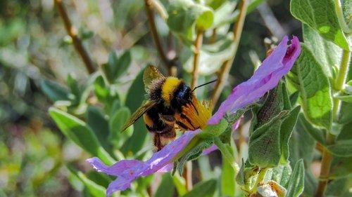 bumblebee  borinot  bee