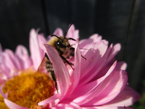 bumblebee  astra  flower