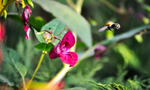 bumblebee  flight  the collection of nectar