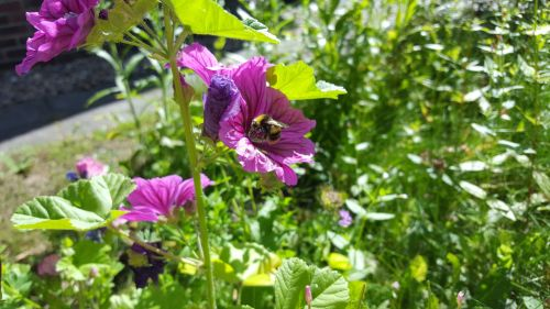 Bumblebee In Purple Flowers