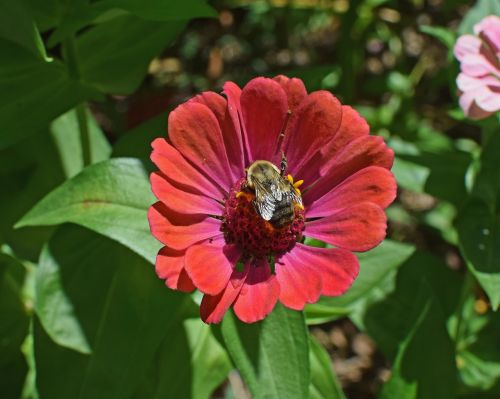 bumblebee on zinnia butterfly insect