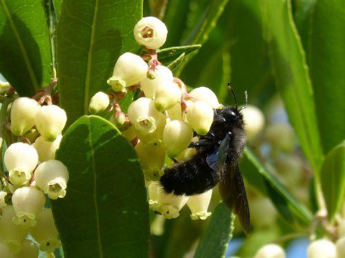 bumblebee wood xylocopa violacea libar