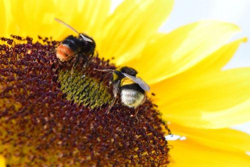 bumblebees sun flower pollen