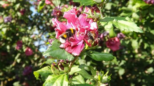 bumblebees mallow insect