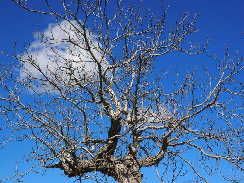 bumkrone kahl tree