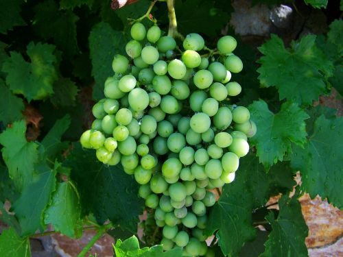 bunch of grapes green immature