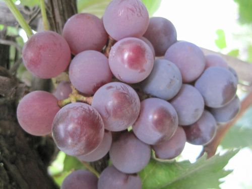 Bunch Of Ripening Pink Grapes