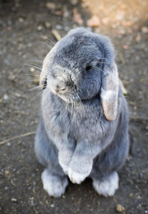 bunny rabbit animal