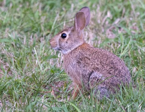 bunny easter cottontail