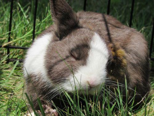bunny rabbit netherlands dwarf