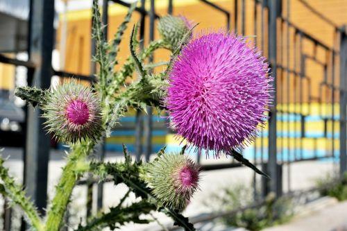 burdock blooming burdock flower