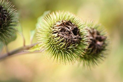 burdock  arctium  flora