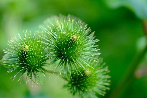 burdock  wild plant  nature