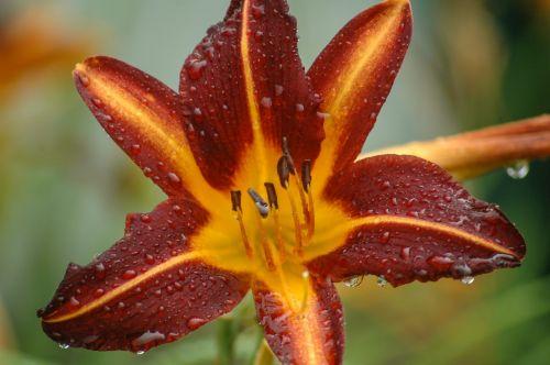burgundy daylily flowers daylily