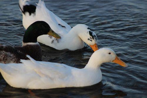 burhaniye iskele ducks