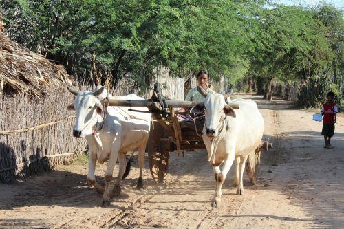 burma,lėkštelė,mianmaras,žmogus,moteris,bagan,kaimas,kaimo gyvenimas,kaimas prie Bagan,šalies gyvenimas,ūkininkai