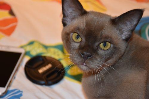 burmese cat chocolate