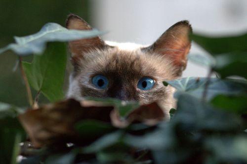 burmese cat about hidden