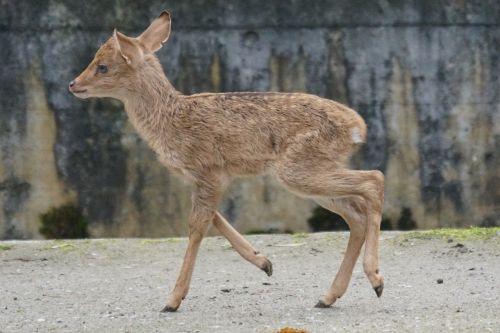 burmese eld's deer paahufer young animal