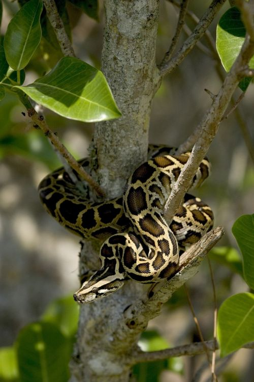 burmese python snake tree