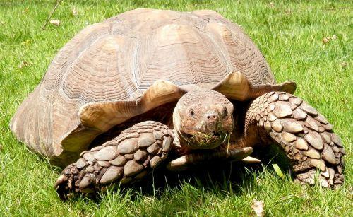 burmese tortoise tortoise burmese