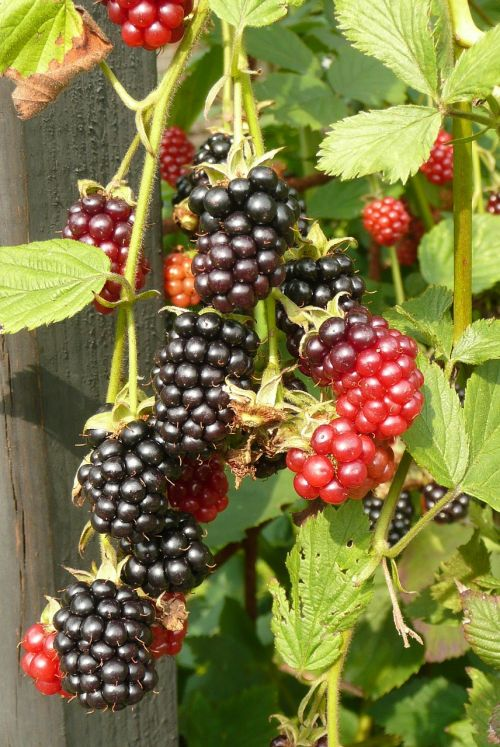 burr blackberries kitchen garden
