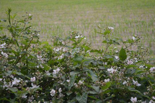 burr blackberry blossom blossom