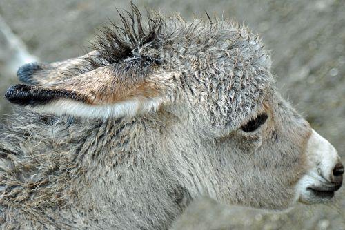burro ass animal