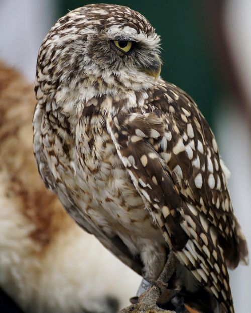 burrowing owl animal world