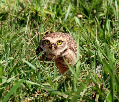 burrowing owl bird of prey bird