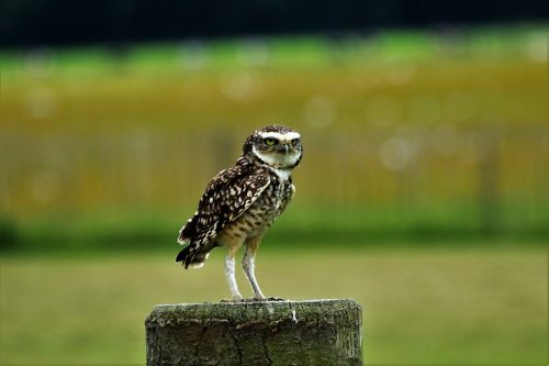 burrowing owl small owl bird
