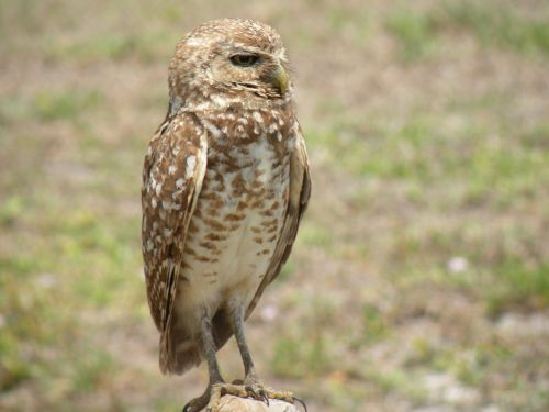 burrowing owl bird nature