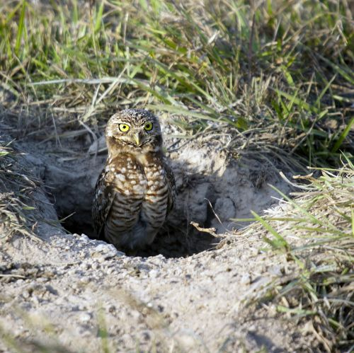 burrowing owl owl birds