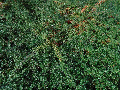tűztövis red fruits tűztövis pyracantha