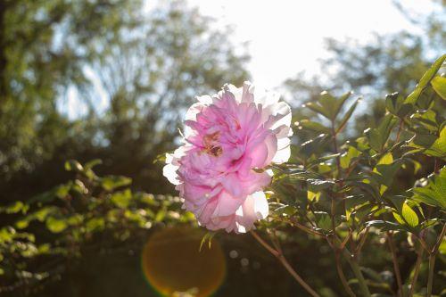 bush peony sun