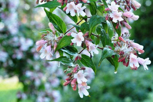 bush rosa flowers