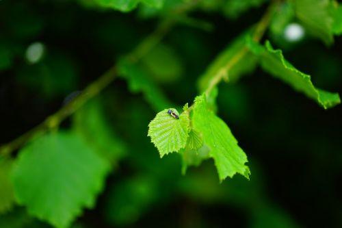 bush hazelnut leaves
