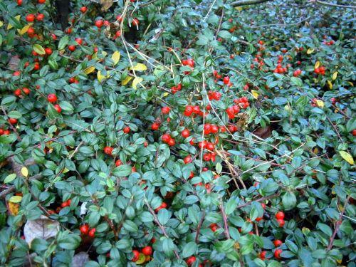 bush ground cover berry
