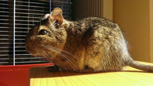krūmas,žiurkė,pelė,degu,chilenų krūmo žiurkė,saulė,šviesti,šviesus,saulės šviesa,ruda