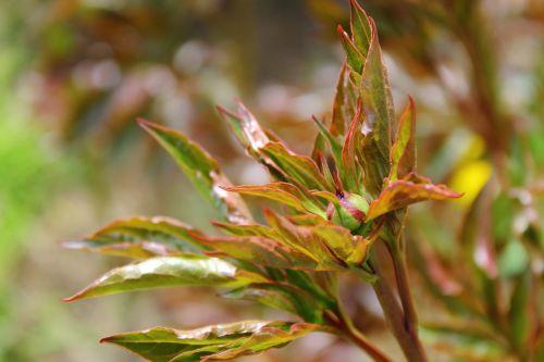 bush dashing plant