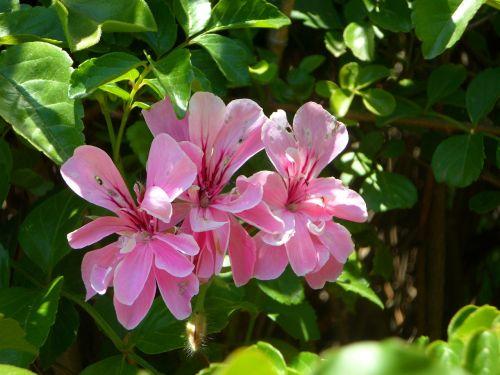 bush ornamental shrub bloom