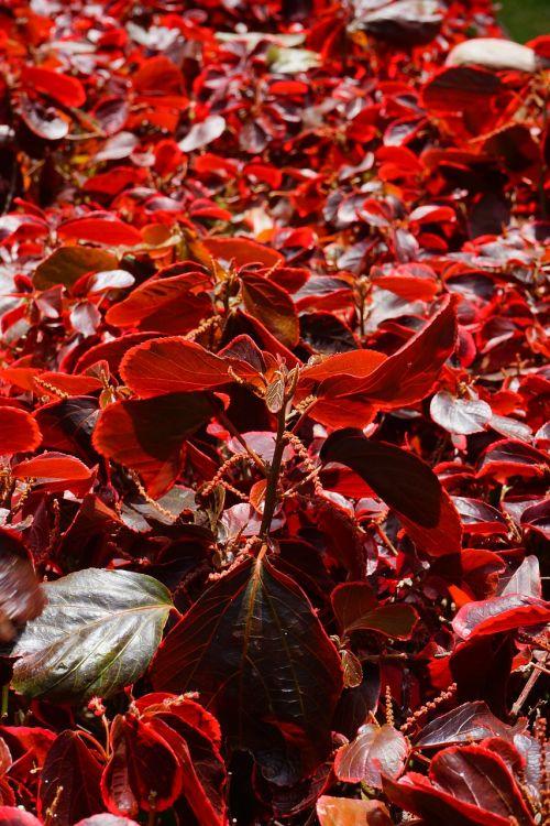 bush leaves red