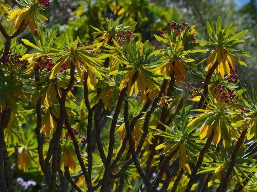 bush plant spurge