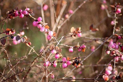 bush  hedge  pink beads