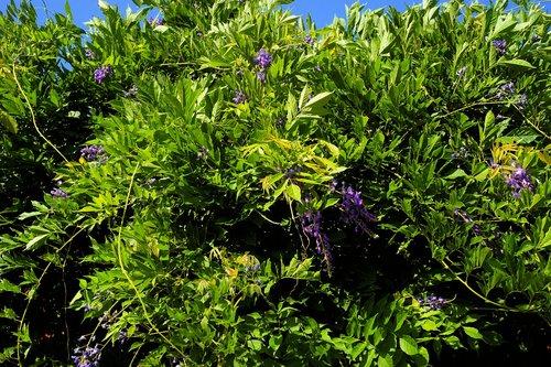 bush  blue rain  garden