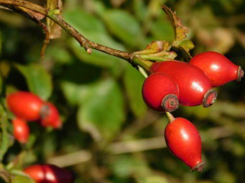 bush rose hip red