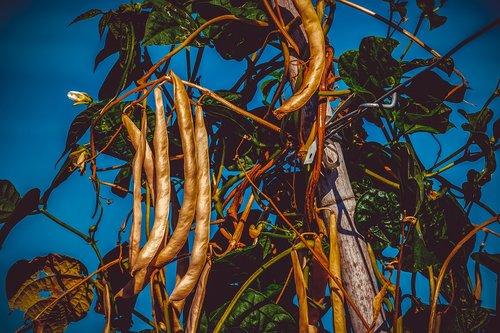 bush beans  beans  phaseolus
