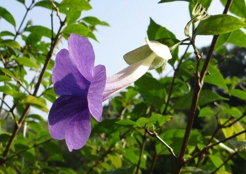 bush clock vine king's mantle flower